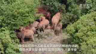 云南北移亚洲象群总体向东北迂回移动