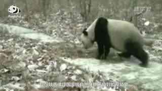 熊猫百问你来问|大熊猫喜欢滚马粪?