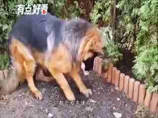 狗偷藏骨头,铲屎官发问难不成是怕我吃了?