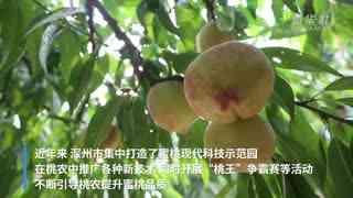 河北深洲:十万亩蜜桃筑牢乡村振兴产业链