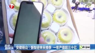 安徽砀山:酥梨迎来采摘季 一年产值超三十亿