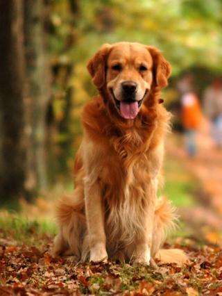 玩耍44:黄金猎犬