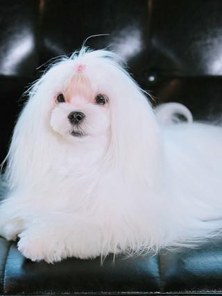 治愈259:马尔济斯犬