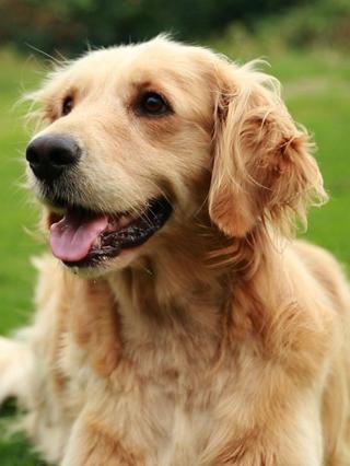 玩耍8:金毛猎犬
