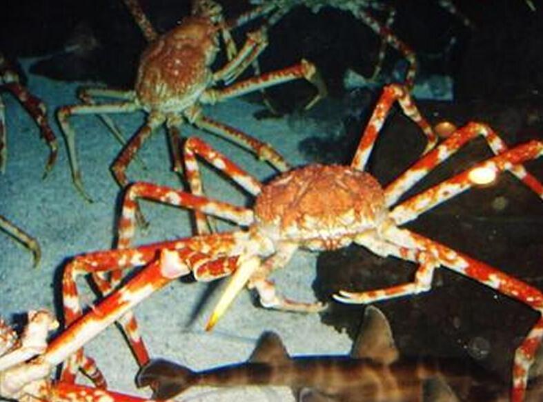上千只巨型杀人蟹海底军团!螃蟹大战鳄鱼!
