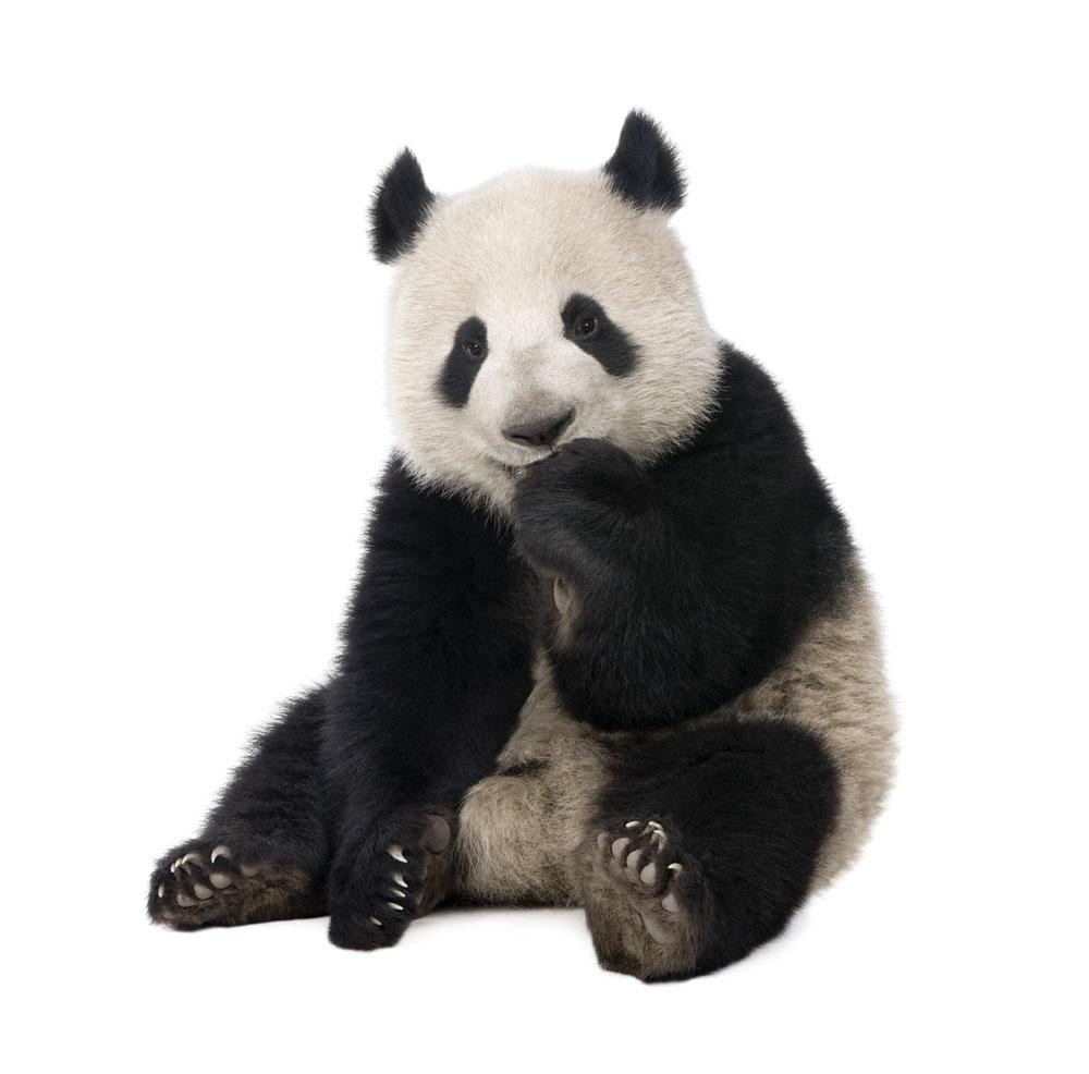 四川汶川 监控记录大熊猫出没映秀街头