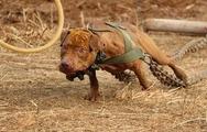 比特犬打架视频 杜高犬能当斗狗吗 斗狗比赛视频 杜高