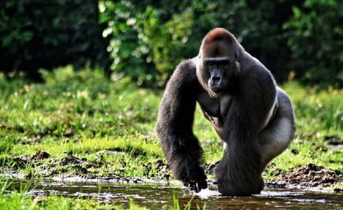 男童爬进动物围栏 网友:大猩猩是无辜的!