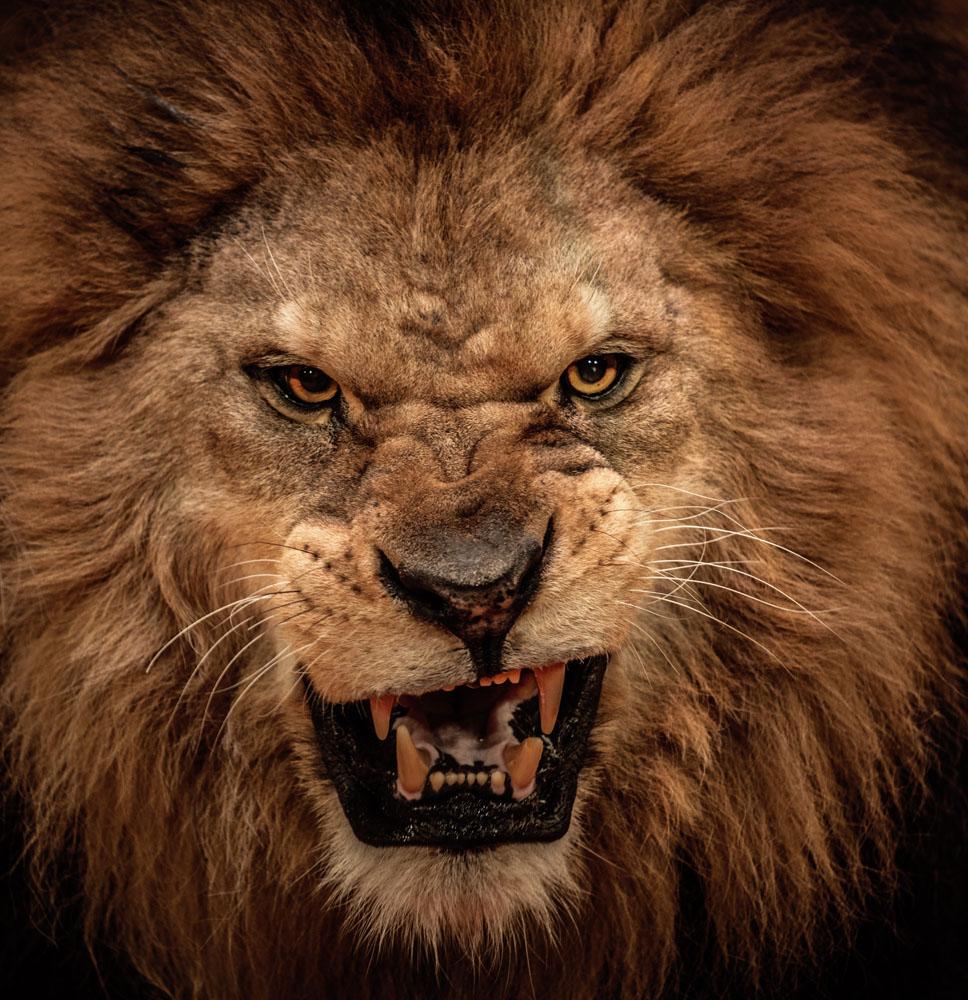 壁纸 动物 狮子 桌面 968_1000