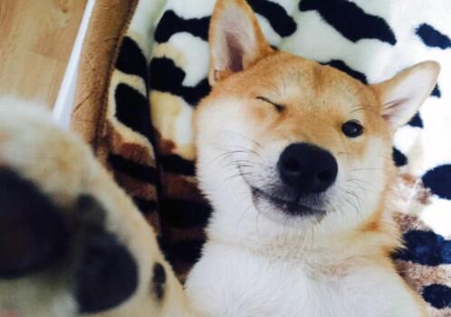 聚焦: 宠物狗沉溺于看电视 柴犬奇科日常生活照曝光; 热点关注
