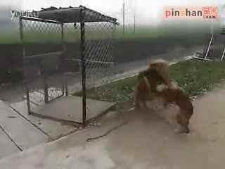 藏獒和老虎打架图_真实藏獒打架视频曝光比狮子老虎还凶华数T