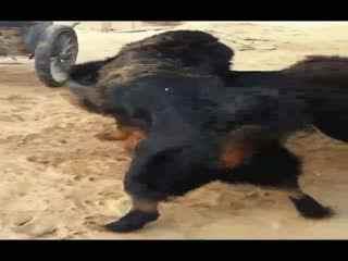 藏獒和老虎打架图_老虎藏獒真实打架视频_藏獒和老虎打架图_藏