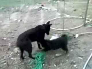 野生藏獒和狼打架_【藏獒与狼打架】藏獒打架 勇战狼犬