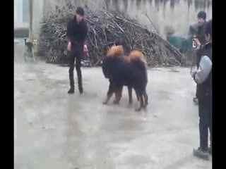 恶霸犬vs比特打架视频