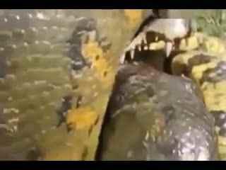 视频 蟒蛇/