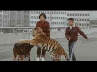 藏獒和老虎打架图_斗狗打架藏獒斗狗大战比特犬vs老虎打架视频