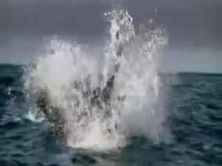 鲨鱼v鲨鱼:鲨鱼与虎鲸海中对决搁浅落败引流程视频报关小狗图片