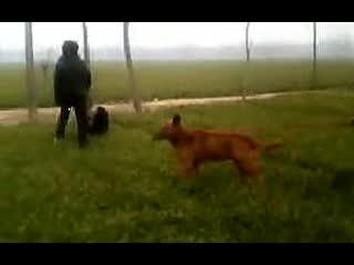 打架视频 藏獒老虎打架图片   西藏现在还有没有野生的臧獒高清图片