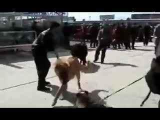 西藏现在还有没有野生的臧獒?   藏獒打架视频 比狮子老虎高清图片
