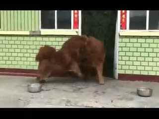 斗狗视频藏獒咬死斗 藏獒大战德国牧羊犬图片