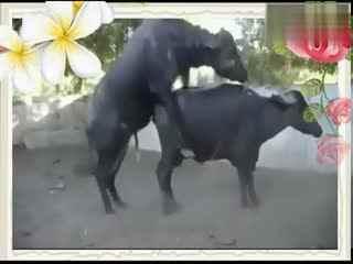 狗猩交配视频_动物性行文配种JBP 牛交配 配种动物交配全过