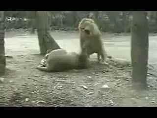 狮子大战鬼獒_藏獒VS狮子谁才能站到最后