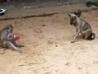 斗狗 猴子骑狗身上打 斗狗打架视频